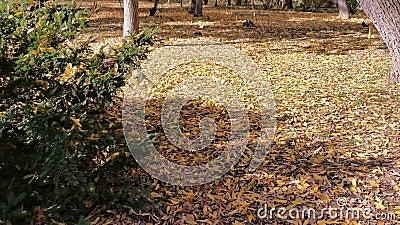 Τα αποξηραμένα φύλλα πέφτουν στο έδαφος - φθινοπωρινή περίοδος απόθεμα βίντεο