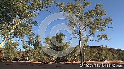 Τα δέντρα εσωτερικών, Alice αναπηδούν, Αυστραλία, εσωτερικός, Αυστραλία, Alice, ελατήρια, δέντρο, δέντρα, φύση απόθεμα βίντεο