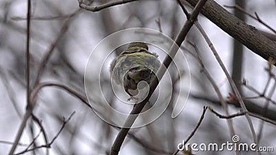 Τα ευρωπαϊκά chloris Chloris greenfinch κάθονται σε έναν κλάδο την άνοιξη απόθεμα βίντεο
