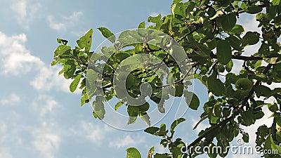 Τα όμορφα μήλα ωριμάζουν στο δέντρο ενάντια στο μπλε ουρανό Πράσινα μήλα στον κλάδο Οργανικός καρπός _ απόθεμα βίντεο