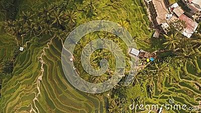 Τομείς ρυζιού πεζουλιών σε Ubud, Μπαλί, Ινδονησία