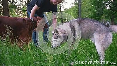 Το άτομο στα παιχνίδια πάρκων με τα σκυλιά - ιρλανδικός ρυθμιστής και γεροδεμένος - του δίνει τον κλάδο του δέντρου στο θερινό πά απόθεμα βίντεο