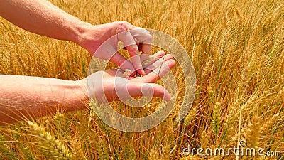 Το αρσενικό παραδίδει τον τομέα κριθαριού Σιτάρι στα χέρια Χέρια ατόμων που κρατούν το σιτάρι κριθαριού Έλεγχος της Farmer η ποιό απόθεμα βίντεο