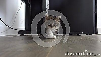 Το γκρίζο γατάκι πλησιάζει τη κάμερα με την περιέργεια και επιθυμεί να παίξει απόθεμα βίντεο
