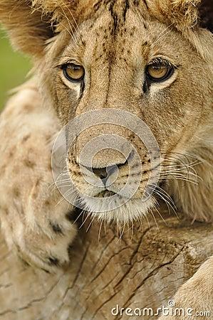 το λιοντάρι κοιτάζει επίμ&o