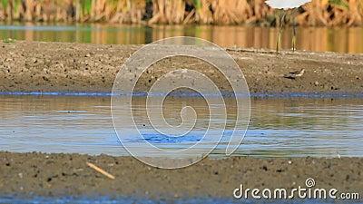 Το Μικρό Έγκρετ στη Λίμνη Ακτή απόθεμα βίντεο