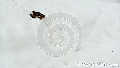 Το Chipmunk προκύπτει από το χιόνι απόθεμα βίντεο
