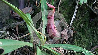 Τροπικές εγκαταστάσεις Nepenthes σταμνών που καλείται επίσης ως φλυτζάνι πιθήκων απόθεμα βίντεο