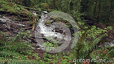 Τροπικό δάσος Pacific Northwest και πολύβλαστο χαμόκλαδο απόθεμα βίντεο