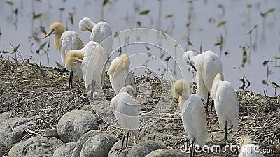 Τσικνιάδων βοοειδών (πουλιά της Ταϊβάν) φιλμ μικρού μήκους
