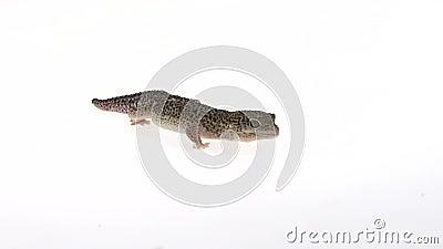 Τυποποιημένη μορφή Leopard gecko, Eublepharis macularius σε λευκό φόντο Κλείσιμο Αργή κίνηση απόθεμα βίντεο