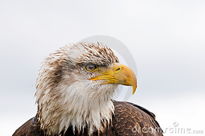 φαλακρός αετός