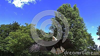 Φαλακρός αετός, leucocephalus haliaeetus, ενήλικος κατά την πτήση φιλμ μικρού μήκους