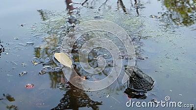 Φρύνος στην ήρεμη λίμνη Μικρή συνεδρίαση φρύνων στο βράζοντας νερό της ήρεμης λίμνης στη φύση wildlife απόθεμα βίντεο