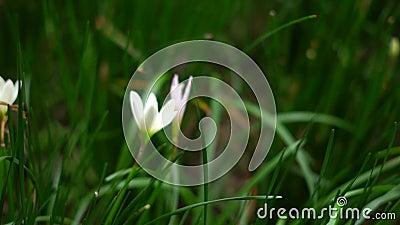 Φυτά και λουλούδια νεραϊδοκρίνων απόθεμα βίντεο