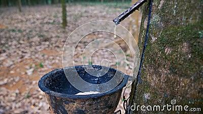 Φυτεία λαστιχένιων δέντρων απόθεμα βίντεο