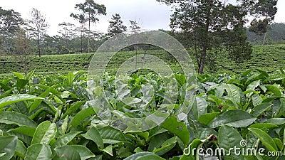 Φυτεία τσαγιού σε Wonosobo borobodur Ινδονησία Ιάβα απόθεμα βίντεο