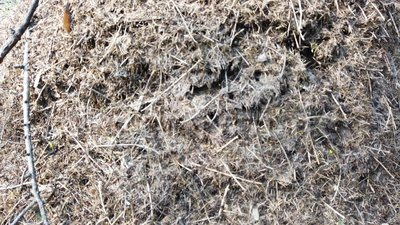 Φωλιά μυρμηγκιών με την αποικία των μυρμηγκιών απόθεμα βίντεο