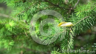 Φωτεινός κλάδος βελόνων πεύκου στο φθινοπωρινό δάσος Φλάφιδο πεύκο σε δασική έκταση Όμορφο περιβάλλον με άγρια ζωή φιλμ μικρού μήκους