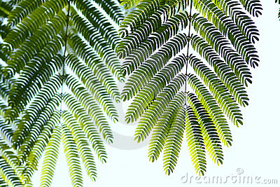 φύλλα albizzia