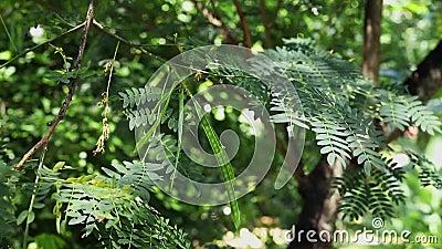 Φύλλωμα δέντρων μολύβδου με τους λοβούς απόθεμα βίντεο