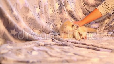 Χαριτωμένο μικρό γεροδεμένο παιχνίδι κουταβιών Σκυλιά μωρών αστεία και κωμικά Κατοικίδια ζώα ζώων - ευτυχία για τους ανθρώπους φιλμ μικρού μήκους