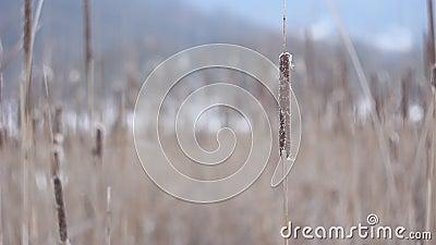 Χειμώνας Cattail απόθεμα βίντεο