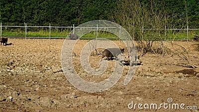 Χοίροι που περπατούν στο ρύπο στο αγρόκτημα ζωικού κεφαλαίου Χοίροι στο αγρόκτημα Καλλιέργεια χοίρων livestock απόθεμα βίντεο