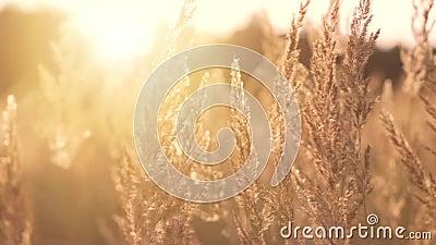 Χρυσό βράδυ στο λιβάδι φιλμ μικρού μήκους