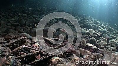 Ψάρια πεστροφών υποβρύχια στο ρεύμα του νερού της Λένα River στη Σιβηρία της Ρωσίας απόθεμα βίντεο