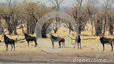 Όμορφη κοκκώδης φωτογραφία άγριας φύσης σαφάρι της Αφρικής αντιλοπών απόθεμα βίντεο