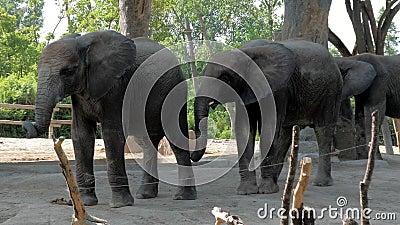 Όμορφοι ελέφαντες στο ζωολογικό κήπο Ελέφαντες σε πάρκο σαφάρι φιλμ μικρού μήκους