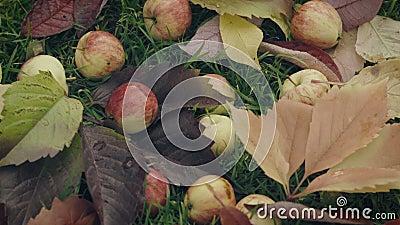 Ώριμα κόκκινα μήλα πεσμένος κάτω από το δέντρο μηλιάς απόθεμα βίντεο