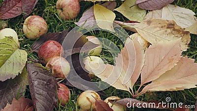 Ώριμα κόκκινα μήλα πεσμένος κάτω από το δέντρο μηλιάς φιλμ μικρού μήκους
