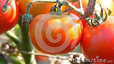 Ώριμα φρούτα ντοματών στις εγκαταστάσεις Συγκομιδή των ντοματών σε έναν κήπο απόθεμα βίντεο