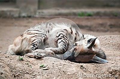 镶边鬣狗 库存图片 - 图片