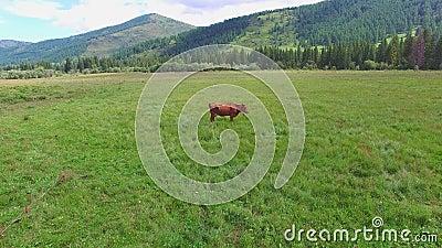 Авиационная съемка коров в луге корова пася лужок сток-видео