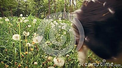 Австралийская собака чабана на поле