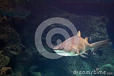 Акула в естественном аквариуме
