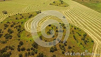 Антенна строк пшеницы сена в Paddock акции видеоматериалы
