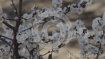 Апрельские абрикосы цветущих ветвей Дикие белые цветы на весеннем фруктовом дереве закрываются Свежесть цветения в деревенском са сток-видео