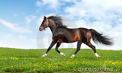 аравийская лошадь идет рысью