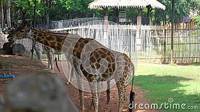 Африканские саванны или жирафы едят бананы и фасоли Ярдлон из туристического центра видеоматериал