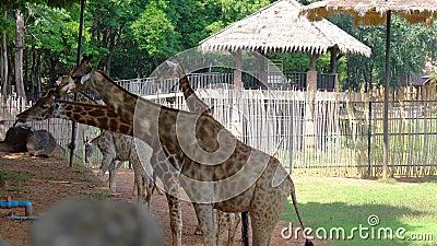 Африканские саванны или жирафы едят бананы и фасоли Ярдлон из туристического центра сток-видео