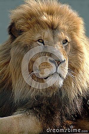 африканский львев