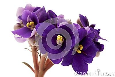 Африканский фиолет