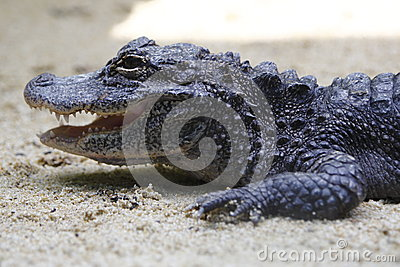 Аллигатор 1