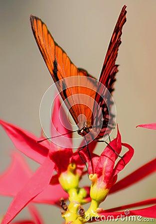 бабочка одичалая