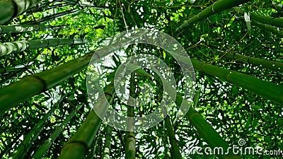 Бамбуковый лес 4K видеоматериал