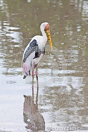 Белая птица в озере
